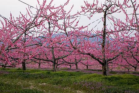 猿投の桃畑-6