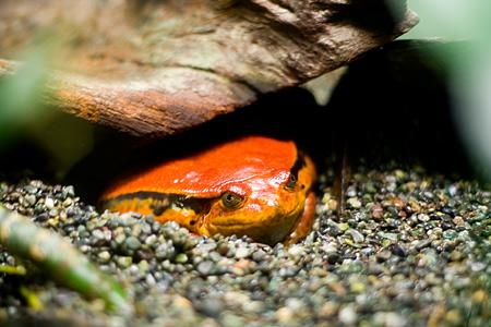 東山動物園トマトガエル