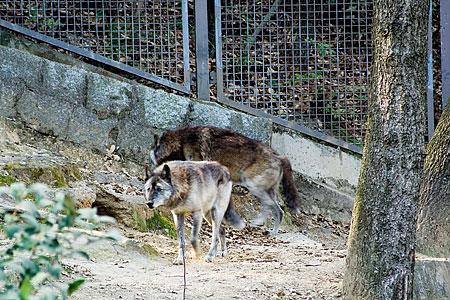 シンリンオオカミ-1