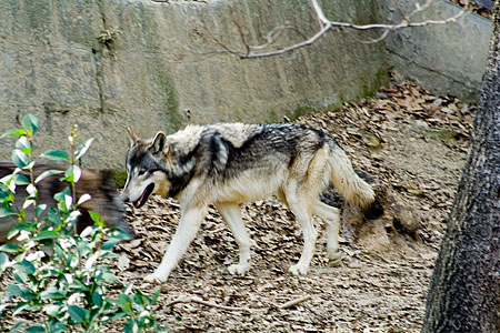 シンリンオオカミ-2