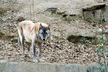 シンリンオオカミ-3