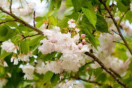 東山植物園の桜-1