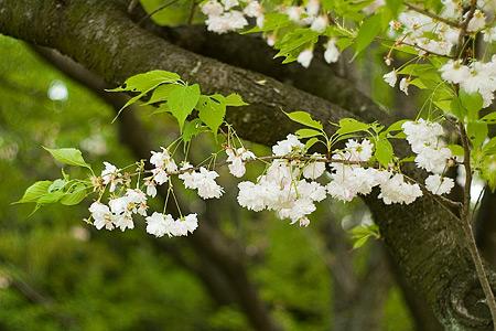 東山植物園の桜-2