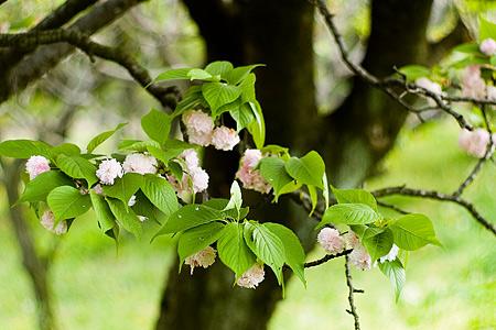 東山植物園の桜-3