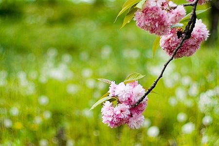 東山植物園の桜-4