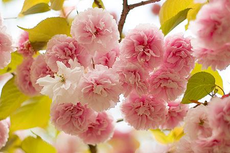 東山植物園の桜-5