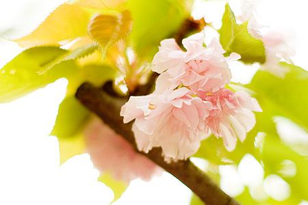東山植物園の桜-6