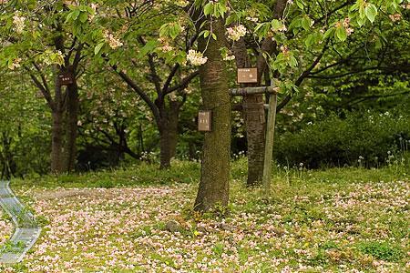 東山植物園の桜-7