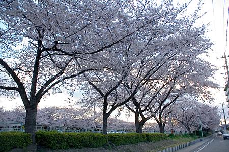 香流川の桜-1