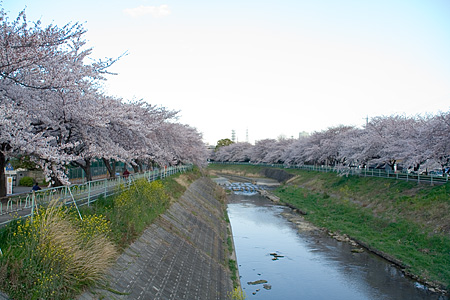 香流川の桜-2