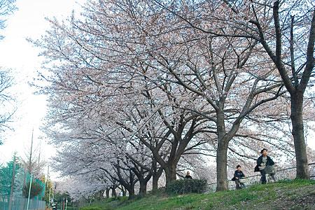 香流川の桜-3