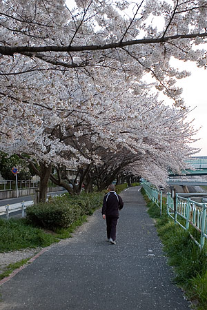 香流川の桜-4
