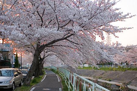 香流川の桜-5
