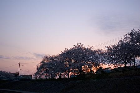 香流川の桜-6