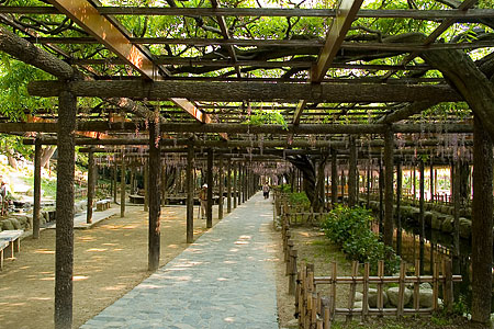 天王川公園の藤-2