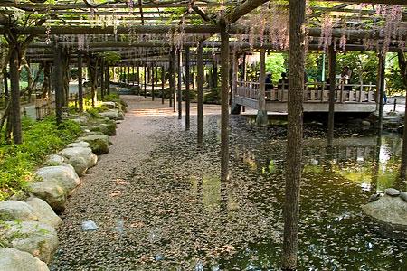天王川公園の藤-4