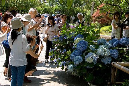 青いアジサイを取り囲む人々による撮影会
