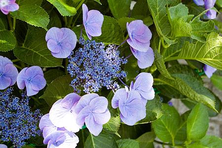 薄紫のアジサイ