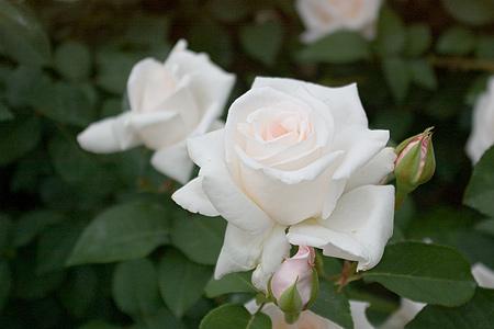 花フェスタバラ-1