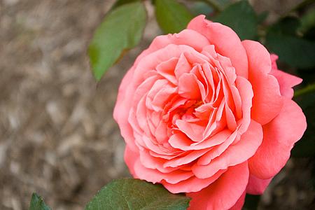 花フェスタバラ-4