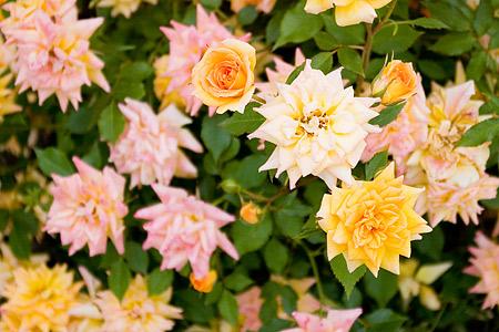 花フェスタバラ-5