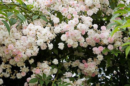 花フェスタバラ-6