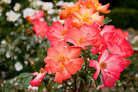 花フェスタバラ-7