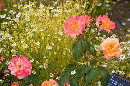花フェスタバラ-8
