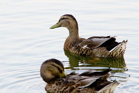 庄内緑地で鳥撮り-3