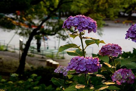 紫陽花と西日