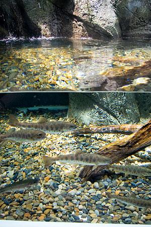 しながわ水族館の魚1-2