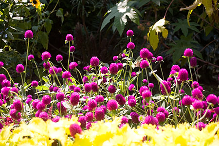 デンパークの花-4