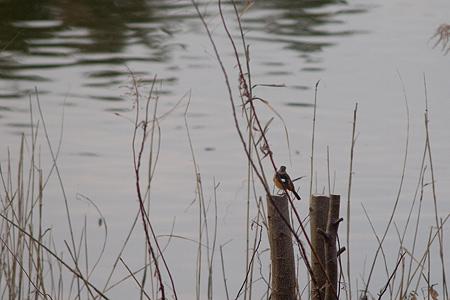 牧野ヶ池の鳥-4