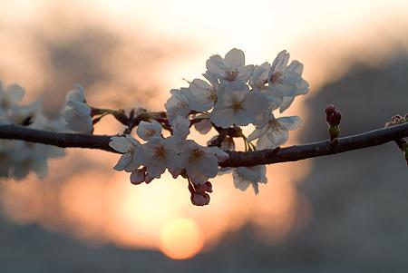 山崎川桜-12