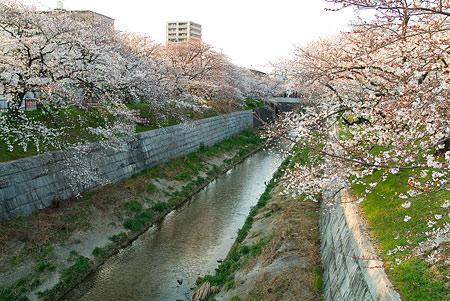 山崎川桜-2