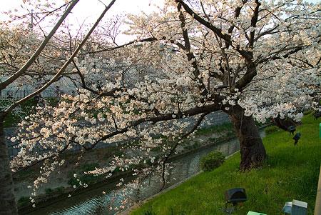 山崎川桜-5