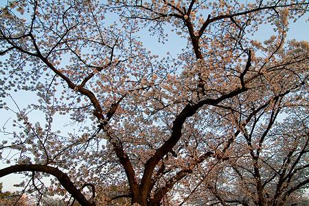 山崎川桜-8