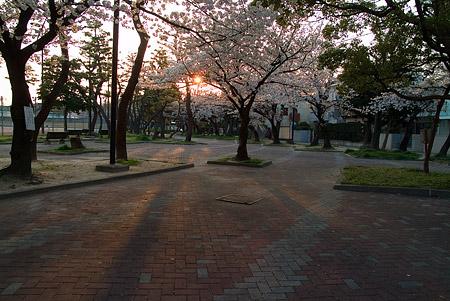 山崎川桜-9