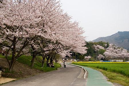 安土の桜並木