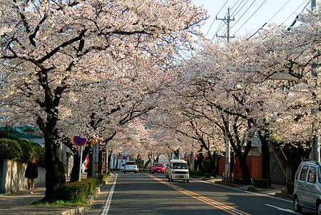 近所の桜1-1