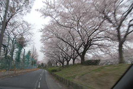 近所の桜1-10