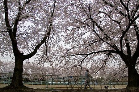 近所の桜1-11