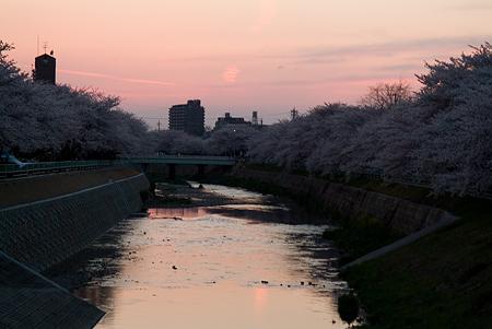 近所の桜1-12