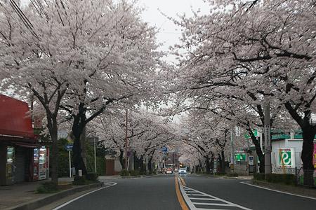 近所の桜1-2