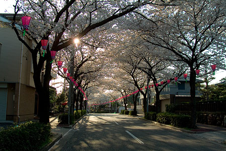 近所の桜1-3