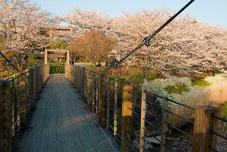 近所の桜1-4