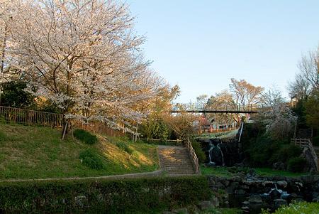 近所の桜1-5