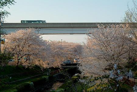 近所の桜1-6