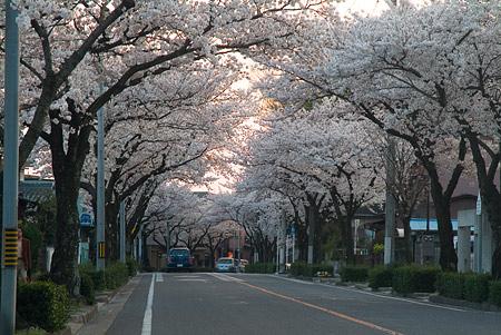 近所の桜1-7