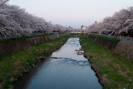 近所の桜1-8